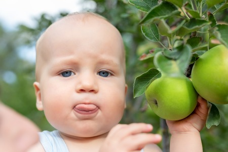 Cute caucasian baby boy picking up fresh ripe green apple from tree in orchard in bright sunny day. Funny child putting out tongue in fruit garden