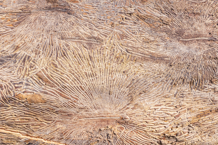 Pattern on tree trunk log after damage caused by bark beetle. Natural wooden texture background
