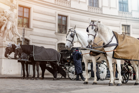 two pairs of white and black beautiful horses with carriage in Vienna historical city center near royal palace. Traditional austrian travel sighseeing destination and landmark. Horses voyage trip.
