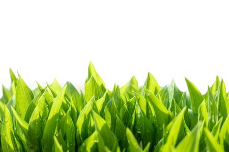 Fondo astratto delle foglie verdi. Pianta crescente fresca naturale isolata su bianco.
