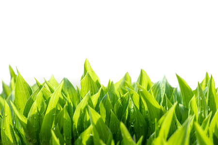 Green leaves abstract background. Natural fresh growing greenery isolated on white.