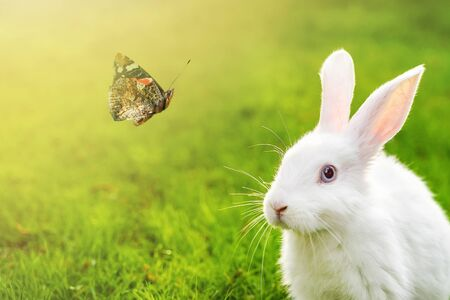 Cute adorable white fluffy rabbit sitting on green grass lawn and looking on beautiful flying butterfly at backyard. Small sweet bunny in green garden on bright sunny day. Easter nature background.