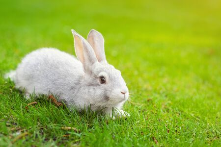 Cute adorable white fluffy rabbit sitting on green grass lawn at backyard. Small sweet bunny walking by meadow in green garden on bright sunny day. Easter nature and animal background.