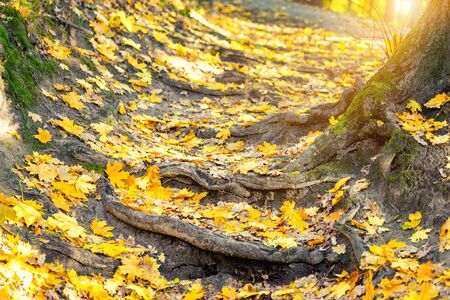 Autumn nature forest landscape. Old crooked tree roots natural staircase footpath . Golden yellow colorful foliage background.