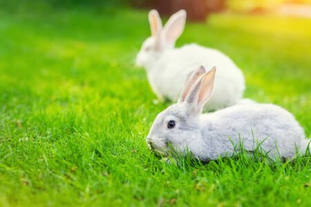 Pair of Cute adorable white and grey fluffy rabbit sitting on green grass lawn at backyard. Small sweet bunny walking by meadow in green garden on bright sunny day. Easter nature and animal background