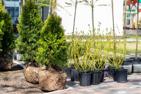Many thujas tree with burlapped root ball prepared for planting in city park or residential building backyard. Lot of different pots with dogwood and juniper. Gardening and landsacaping. Zdjęcie Seryjne