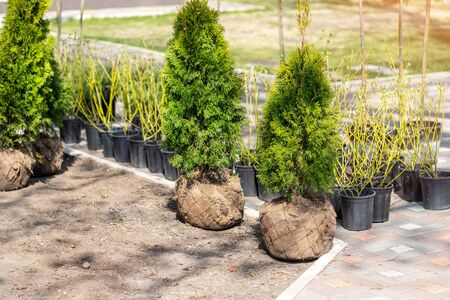 Many thujas tree with burlapped root ball prepared for planting in city park or residential building backyard. Lot of different pots with dogwood and juniper. Gardening and landsacaping.