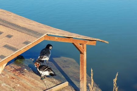 Two ducks under roof of wooden rural ducks house on lake or pond. Stok Fotoğraf