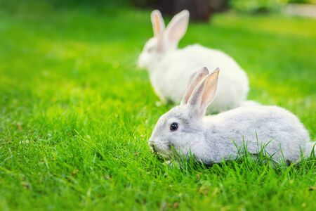 Pair of Cute adorable white and grey fluffy rabbit sitting on green grass lawn at backyard.Small sweet bunny walking by meadow in green garden on bright sunny day. Easter nature and animal background