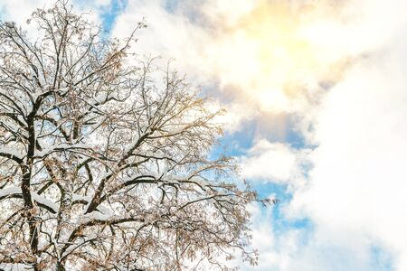 Big wide tree crown branches covered with snow with blue sky and bright shining sun on background. Winter nature scene. Good clear weather forecast Standard-Bild