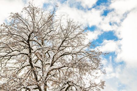 Big wide tree crown branches covered with snow with blue sky and bright shining sun on background. Winter nature scene. Good clear weather forecast Reklamní fotografie
