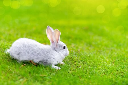 Cute adorable grey fluffy rabbit sitting on green grass lawn at backyard. Small sweet white bunny walking by meadow in green garden on bright sunny day. Easter nature and animal bokeh background. Imagens