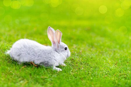Leuk schattig grijs pluizig konijn zittend op groen grasgazon in achtertuin. Klein zoet wit konijntje dat op zonnige dag door de weide in de groene tuin loopt. Pasen natuur en dierlijke bokeh achtergrond. Stockfoto