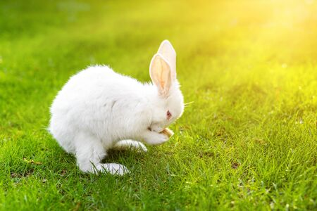 Cute adorable fluffywhite rabbit sitting on green grass lawn waashing and grooming itself at backyard. Small sweet bunny meadow in green garden on bright sunny day. Easter nature animal background