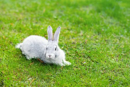 Cute adorable grey fluffy rabbit sitting on green grass lawn at backyard. Small sweet white bunny walking by meadow in green garden on bright sunny day. Easter nature and animal bokeh background