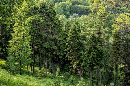 Green nature landscape of forest hill evergreen spruce, pine and fir trees. Natural wilderness siberian taiga on summer. Tranquil morning woodland scene. European mountain woods. Plant produce oxygen.