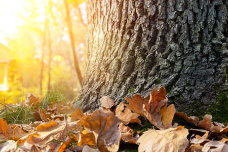 Close-up detail oak trunk scenic misty morning autumn forest foliage or city central park. November warm fall season nature dry wood leaves background. Backlit golden sunshine tree trunks on backdrop Stok Fotoğraf