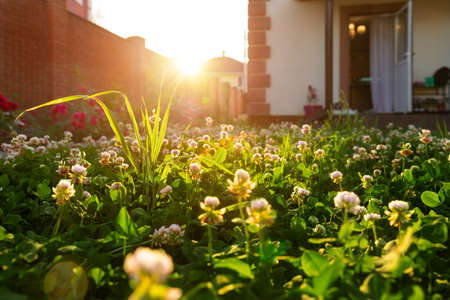 Scenic close-up macro white clover grass lawn meadow on home yard against backlit bright warm sunset evening light on background. House backyard gardening, landscaping service and maintenance concept Reklamní fotografie