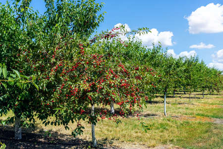Many fruit trees with green leaves twig and many red ripe tasty juicy dessert cherry berries growing in orchard. Natural eco fruit garden background. Organic nutritious agribusiness concept