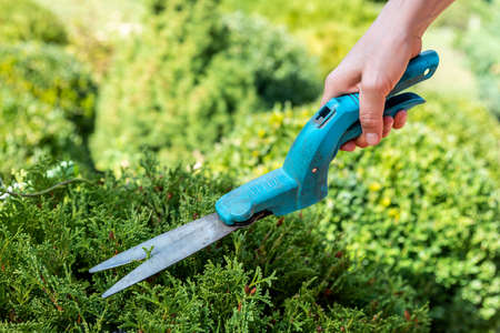 Close-up female gardener worker hand holding in arm grass cutting and trimming shears and pruning boxwood bush on bright autumn day at home yard garden. Professional landscaping tool and equipment