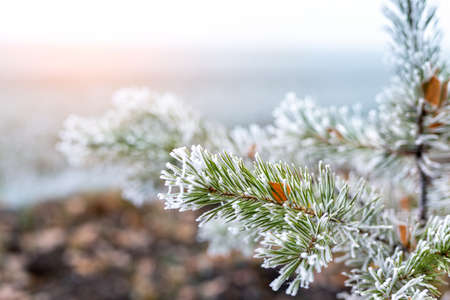 Close-up natural evergreen pine or spruce tree branch green needles covered with icy hoarfrost snow at morning sunrise time. Early frost autumn weather season concept. Nature forest background.