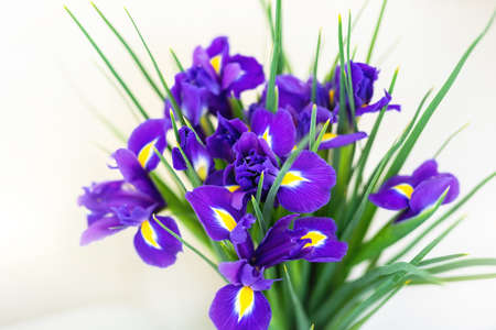 Close-up bunch of fresh beautiful purple and yellow irises flower bouquet on white background. Floral blossoming plant gift present