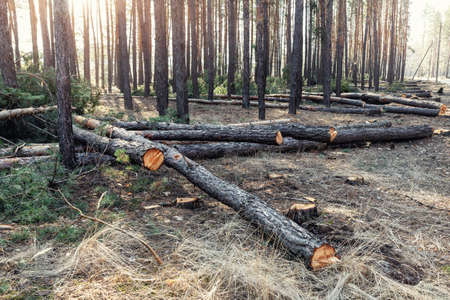Felling big coniferous pine tree logs at forest landscape. Industrial commercial deforestation. Nature disaster and environment danger concept. Sustainable resources illegal overexploitation crime 版權商用圖片