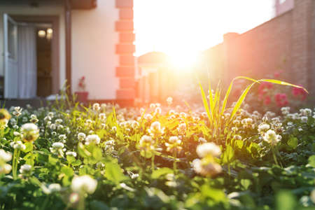 Scenic close-up macro white clover grass lawn meadow on home yard against backlit bright warm sunset evening light on background. House backyard gardening, landscaping service and maintenance concept