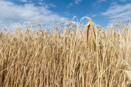 Scenic landscape of ripe golden organic wheat stalk field against blue sky on bright sunny summer day. Cereal crop harvest growth background. Agricultural agribuisness silo business concept