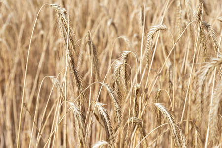 Close-up texture pattern view of ripe golden organic wheat stalk field landscape on bright sunny summer day. Cereal crop harvest growth background. Agricultural agribuisness business concept Banque d'images