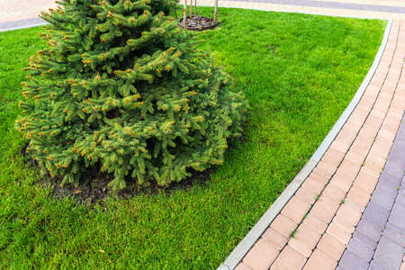 One fresh bright spruce tree growing on mowed green grass lawn field at yard, city park with tiled pathway on sunny day. Formal british garden and landscaping design. Lawn care serivce concept