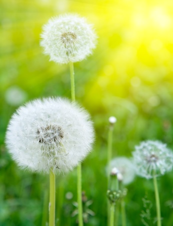 Dandelions bianco su sfondo verde Archivio Fotografico