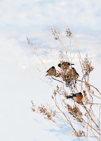 winter scenery with bullfinchs