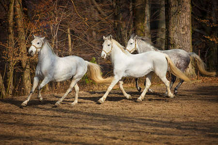 lipizzan horse: Three white Lipizzan horse runs gallop on the dark background Stock Photo