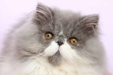 Young bicolor persian cat in front of a white background photo