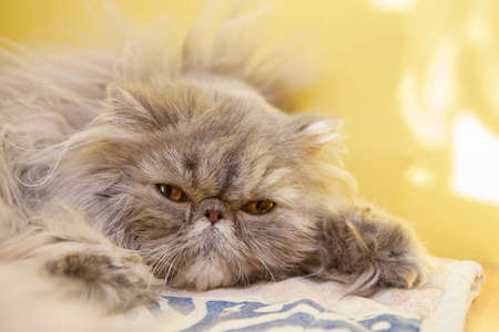 cat grooming: Young tortie persian lying on the carpet