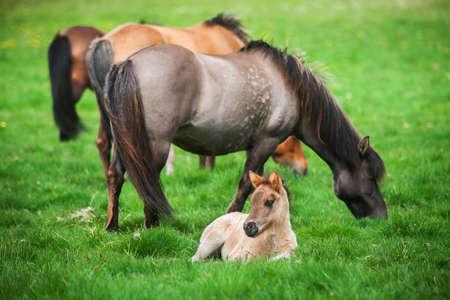 Icelandic beautiful horses graze on a green meadow photo