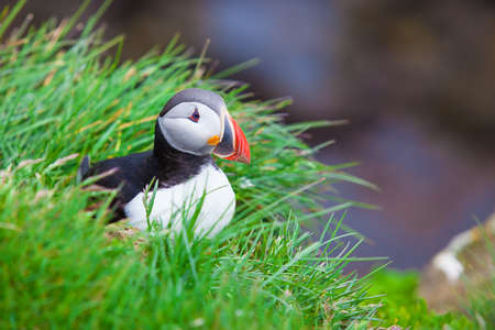 Atlantic Puffin sitting on a grassy cliff Stok Fotoğraf