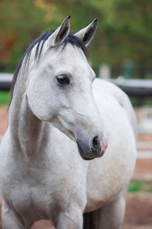 lipizzan horse: Portrait of purebred white horse in arena Stock Photo
