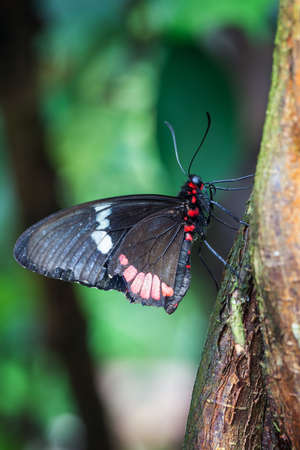 morphing: Black butterfly freshly emerged from green cocoon