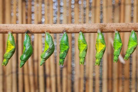 transmute: la prima de la cris�lida befor amagring mariposa