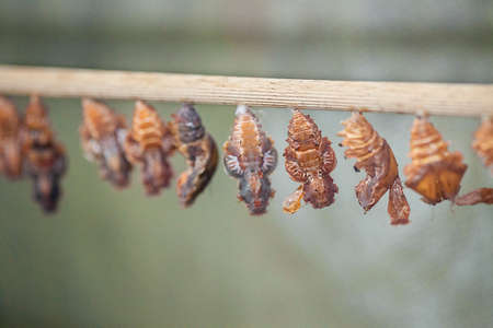 transmogrify: The raw of chrysalis befor butterfly amagring
