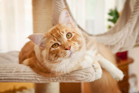 dog cat: Maine Coon Kitten on the scratching post Stock Photo