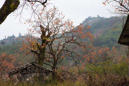 chock: Ruined farmhouse and persimmon, Diospyros kaki, tree with brown branches, orange fruit and autumn leaves in chinese countryside