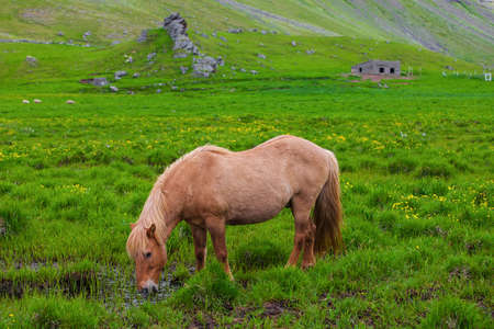 sawhorse: A lovely  Icelandic Horse in afield on sunny day