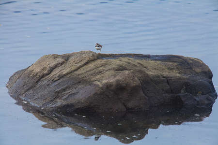 plover: Piping Plover on the rock in sea, Charadrius melodus Stock Photo