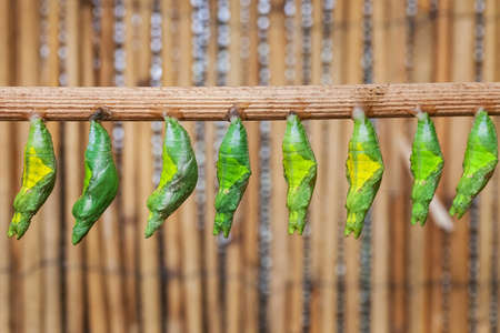 transfigure: the raw of chrysalis befor butterfly amagring