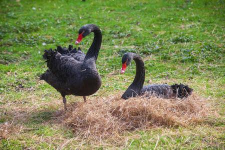 Beautiful black swan sitting on a nest