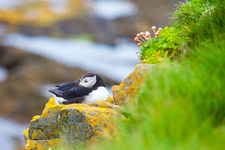 One puffins sitting on a stone, Iceland Latrabjard cliff