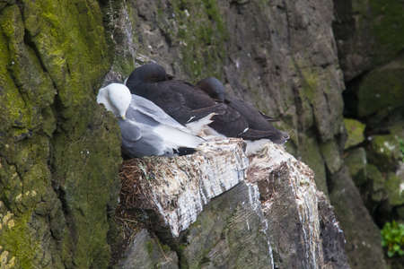 Kittiwake sittig on a nest with two eggs Stok Fotoğraf